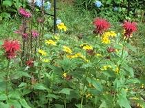 庭に咲く花 ベルガモット