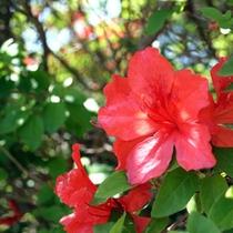 ちょうど良い咲きあんばい「つつじ山」