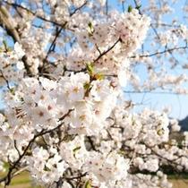 春には桜景色をお愉しみ頂けます