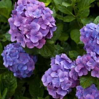 【6月・7月限定】紫陽花の季節★〜地元の方にも愛される色鮮やかな美会席〜〈あじさい会席〉
