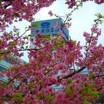 春には当館の前の桜も満開です