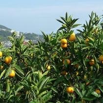 宇佐美オレンジロードではその名の通りみかん園が軒を連ねています。
