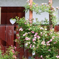 2階客室バルコニーの薔薇