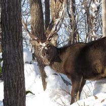 厳しい冬は雪に顔をつっこんでエサを探すエゾ鹿。