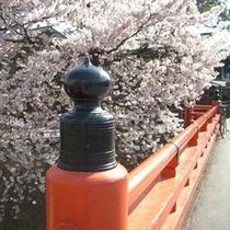 【周辺】春の赤い中橋♪清流・宮川沿いには桜並木が。川側客室から見ることができます。