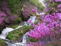 竜頭の滝とトウゴクミツバツツジ
