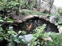 中庭の池の鯉は、体長80センチを超える大物も