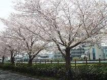 春の石田川の風景