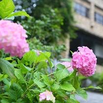 ■6月紫陽花