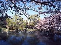 香久池の桜