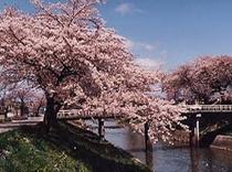 逢瀬川の桜