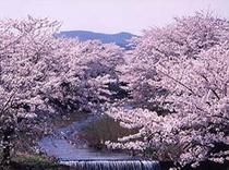 笹原川の桜