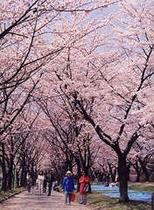 開成山の桜