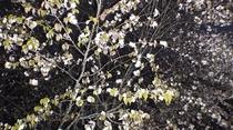 貸切風呂「木の香の湯」夜桜