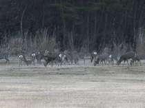 野性の鹿の群れ