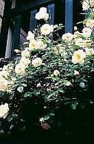 玄関前の満開の薔薇