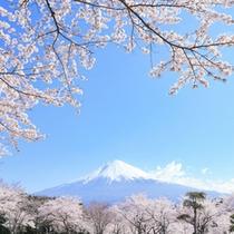 【周辺観光】 イメージ 桜と富士山