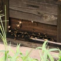 食の素材_養蜂の蜂たち