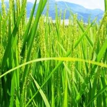 食の素材_上原農園の稲穂たち2