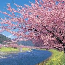 【河津桜】河津川沿いに咲く桜の鮮やかなピンク色、菜の花の黄色が美しいコントラストを生み出します