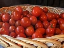 畑で採れたトマト「アイコ」