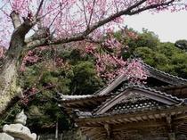 丹生神社・・・毎年2月中旬頃から紅梅、白梅が見頃です