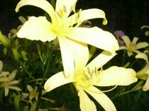 ゆうすげ・・・香住の花です