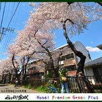 仙台市若林区文化町界隈の桜並木