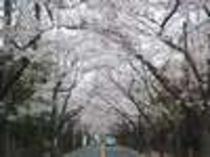 宿から徒歩約10分、桜並木の桜のトンネルです!