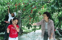 Niseko Fruits Picking