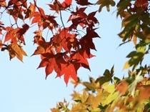 Autumn Leafs Niseko 2