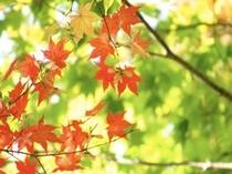 Autumn Leafs Niseko
