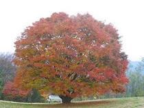 大峰の大カエデの紅葉