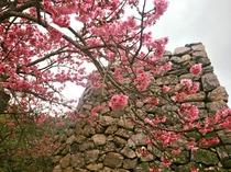 【周辺】寒緋桜の名所