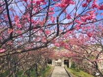 【周辺】今帰仁グスク(城)桜まつり