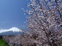 富士桜と富士山