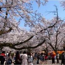 打吹公園の桜並木道(車で40分)