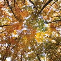 ブナ林の紅葉