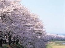 足羽川桜並木(春)