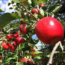 自分で収穫したりんごを思いっきり食べちゃおう♪