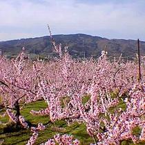 *【桃源郷】4月下旬ごろに飯坂温泉果樹園地帯に広がる桃源郷