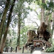 【冬】 来宮神社にある樹齢2000年の大楠は1周すると寿命が2年伸びると言われています。