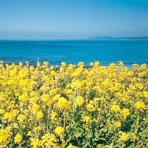 *海辺に咲く菜の花