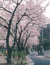 当館の裏にある「南部公園」の桜