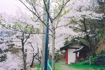 西公園の桜