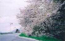 当館より徒歩5分。千曲川の土手に咲く桜