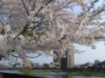 広瀬川の桜♪