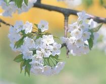 山形ならではの「さくらんぼの花」 さくらんぼ畑一面にキレイに咲き誇ります