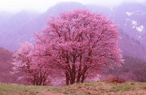 少し遅く咲き始め特徴のあるピンク色の花が一斉に咲き始める。 西蔵王 大山桜