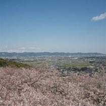 御津山の桜